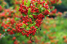 Twig Of A Firethorn With Red Berries