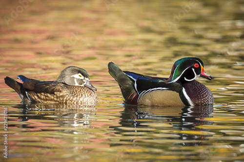Wood duck couple in water.