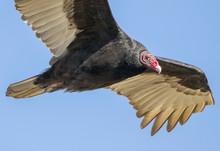 Turkey Vulture Up Close And Pe...