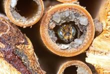 Wild Solitary Bee Osmia Rapunc...