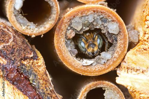 Fotografía  Wild solitary bee Osmia rapunculi (Syn