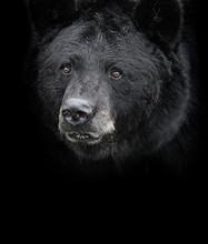 American Black Bear (Ursus Ame...