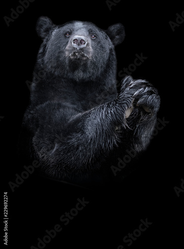 American black bear (Ursus americanus) the black and white portrait