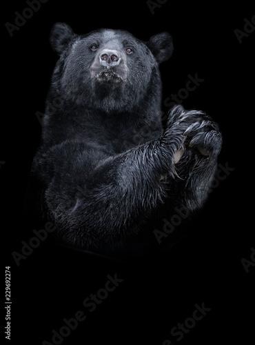 American black bear (Ursus americanus) the black and white portrait