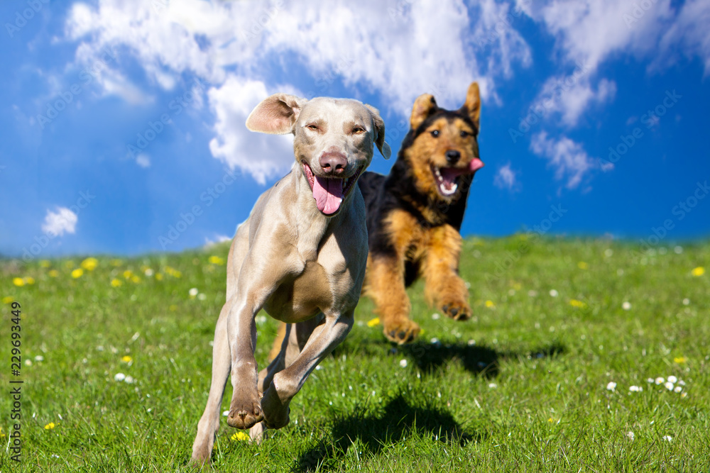 Two happy dogs running towards viewer under blue sky