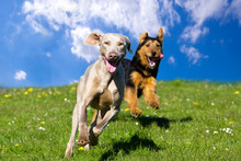 Two Happy Dogs Running Towards...
