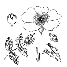 Rosa Canina. Dog-rose. Flowers, Berries, Leaves Stem Liner Illustration Isolated