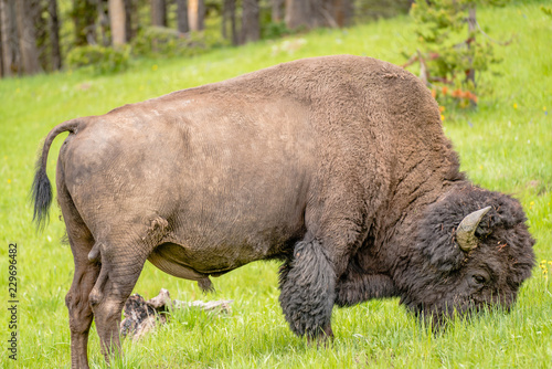 Spoed Foto op Canvas Bison American Bison Feeding in the Grasslands