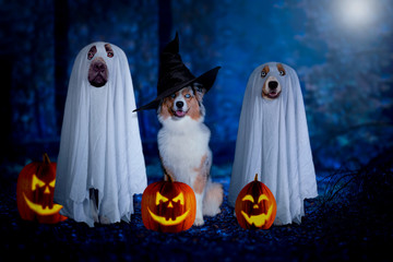 Fototapeta Halloween, three dogs sit disguised as ghost and witch in front of pumpkins