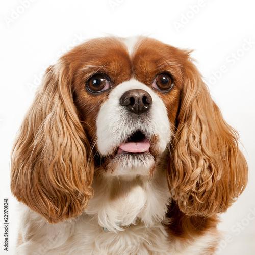 Photo cavalier king charles spaniel dogs