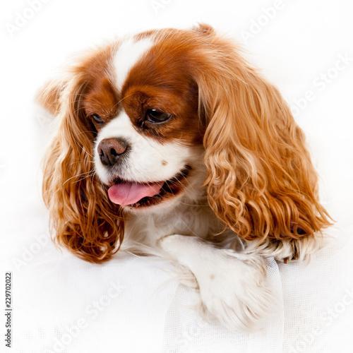 Carta da parati cavalier king charles spaniel dogs