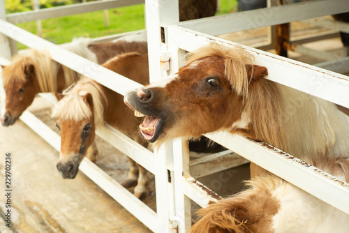 Fotografía  Portrait of little pony in the stable at the agricultural farm.