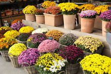 Variety Of Potted Chrysanthemum Plant In The Flowers Bar.