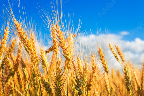 Fotobehang Cultuur natural background with ripe ears and grains of wheat matured on a crop agricultural field on a Sunny summer day