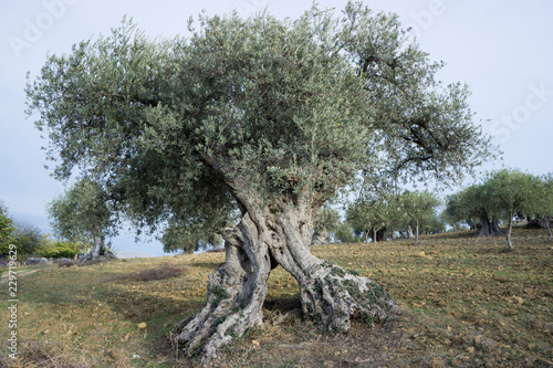 In de dag Olijfboom Ancient olive tree