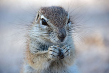 Portrait Of A Ground Squirrel ...