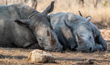 Birds Sitting On Two Rhinos Lying In Bush, South Africa