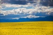 canvas print picture - Canola flower field on a farm in Caledon, Western Cape, South Africa.