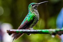 Green Shiny Glossy Hummingbird...