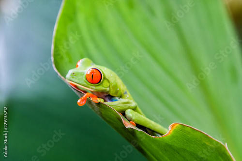 Photo Agalychnis callidryas, known as the red-eyed tree frog captured in Costa Rican jungle
