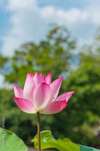 Foto op Aluminium Lotusbloem Beautiful pink lotus flower or science name Nelumbo is blooming with blue sky background