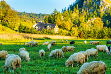 Panel Szklany Podświetlane Do restauracji High in the mountains shepherds graze cattle among the panorama of wild forests and fields of Pieniny National Park. Sheep provide wool and milk, meat