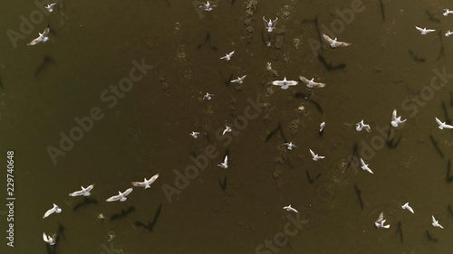 Overhead drone shot of group of white birds (gulls) flying above dark lake on a sunny day in Europe (Lithuania). Background for text
