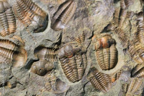 Photo sur Toile Les Textures trilobite fossil texture