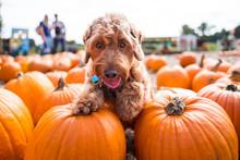 Puppy Halloween Theme