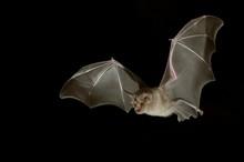 Greater Horseshoe Bat (Rhinolo...