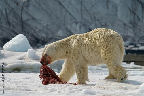 Polar bear (Ursus maritimus) feeding the carcass of a captured seal in the snow, Svalbard, Norwegian Arctic, Norway, Europe