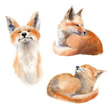Watercolor Animal Illustration.
