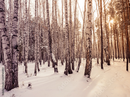 Tuinposter Berkbosje pine forest in winter. forest. natural landscape. frosty early winter. trunks trees and clean snow. sport and active rest in winter. walks and ecotourism
