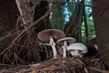 Mushroom Mushroom Growing