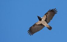 Hooded Crow Flies In Blue Sky With Stretched Wings
