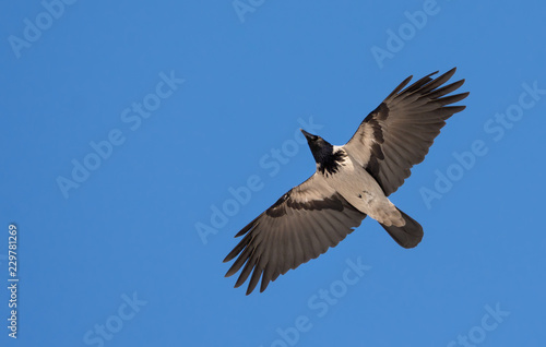 Fotografía  Hooded Crow flies in blue sky with stretched wings