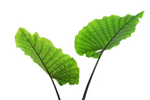 Green Leaves Of Elephant Ear P...