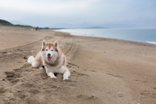 Portrait Of Cute Siberian Husky Dog Lying On The Sand Beach At Seaside