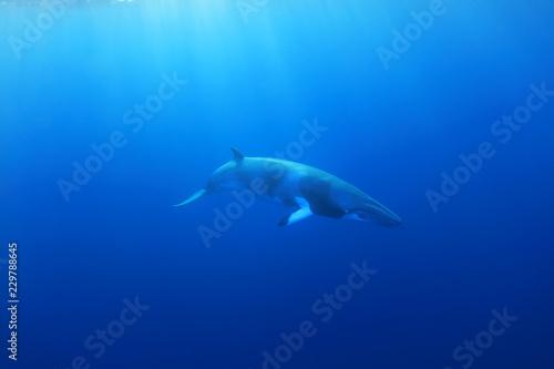 Fotografie, Obraz  Dwarf minke whale