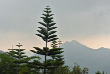 Norfolk Island Pine (Araucariaceae), Radiating Branches Growing Beautifully, With Mountains In The Background In The Bright Morning Atmosphere.