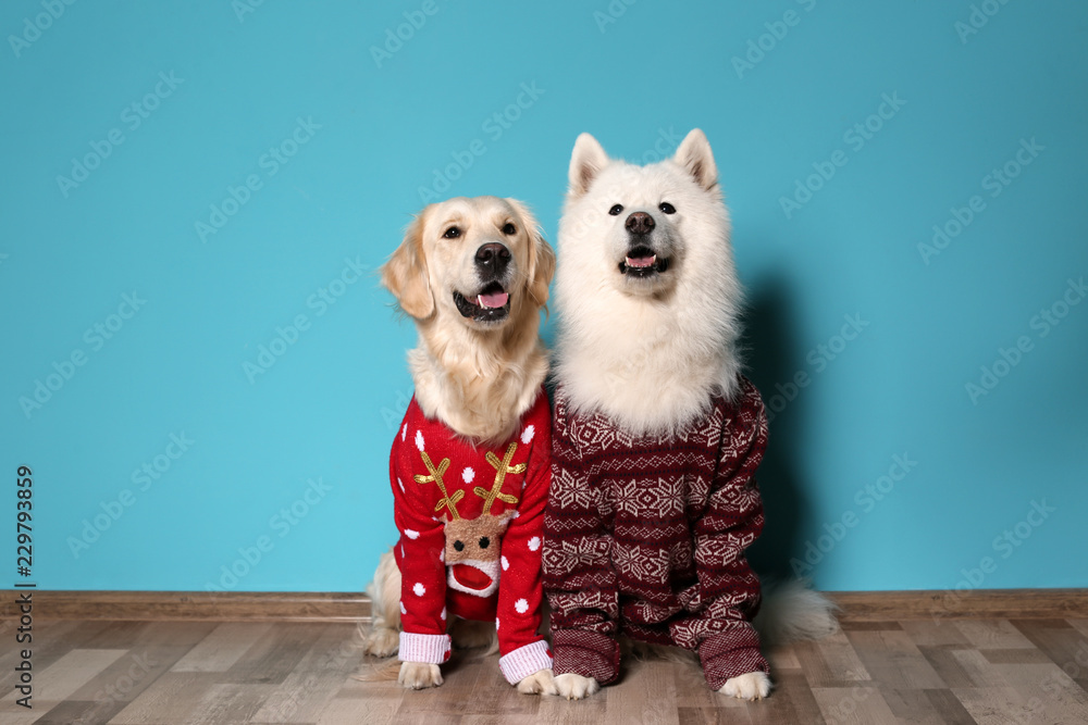 Cute dogs in Christmas sweaters on floor near color wall