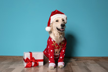 Cute Dog In Christmas Sweater And Hat With Gift On Floor Near Color Wall