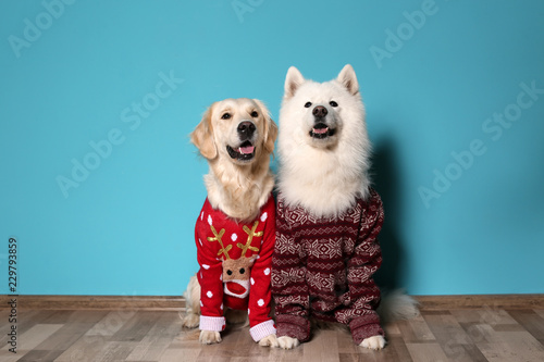 fototapeta na lodówkę Cute dogs in Christmas sweaters on floor near color wall