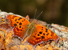 Polygonia Interrogationis, Question Mark Butterfly, Feeding On Fermented Fruit On A Persimmon Tree Trunk
