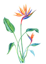 Tropical Plant Strelitzia With...