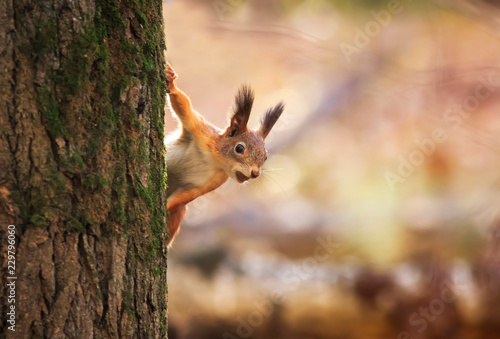 Spoed Foto op Canvas Eekhoorn animal red-haired funny squirrel in the autumn Park Peeps out of the tree trunk on the background of bright yellow foliage with a nut in his teeth