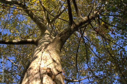 bouleau,arbre ,tronc et cime Wallpaper Mural
