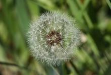 Close Up On Dandelion Puff Flo...