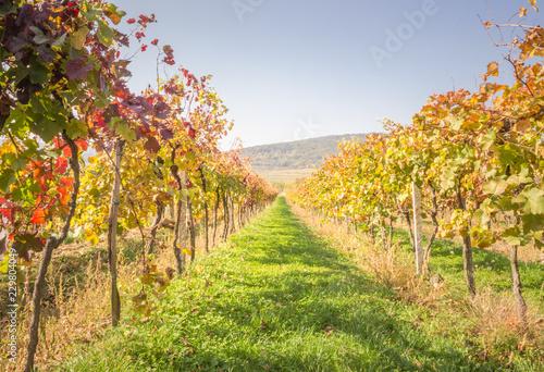 Vineyard in Carpathian mountains not far from Bratislava. Pezinok. Slovakia