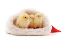 Three Chicks In Christmas.